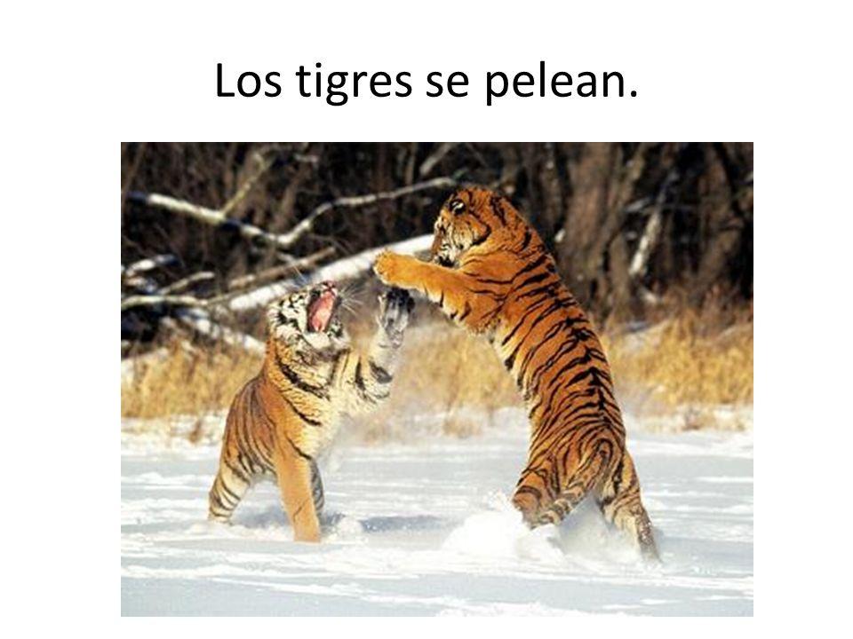 Los tigres se pelean.