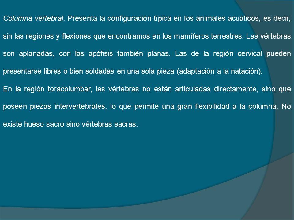 Columna vertebral. Presenta la configuración típica en los animales acuáticos, es decir, sin las regiones y flexiones que encontramos en los mamíferos