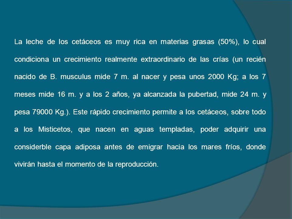 La leche de los cetáceos es muy rica en materias grasas (50%), lo cual condiciona un crecimiento realmente extraordinario de las crías (un recién naci