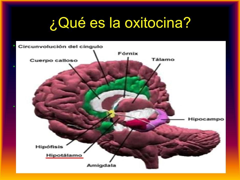 ¿Qué es la oxitocina? La oxitocina es una molécula generada de forma natural por el hipotálamo en la base del cerebro que regula varios procesos fisio