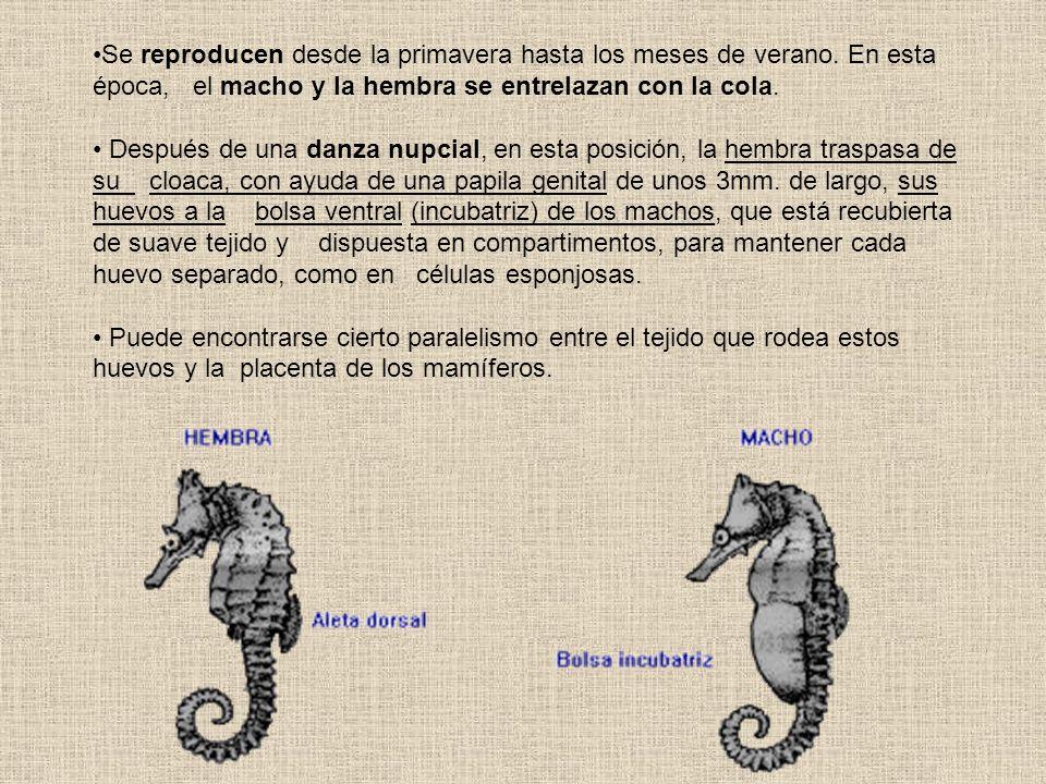 Se reproducen desde la primavera hasta los meses de verano. En esta época, el macho y la hembra se entrelazan con la cola. Después de una danza nupcia