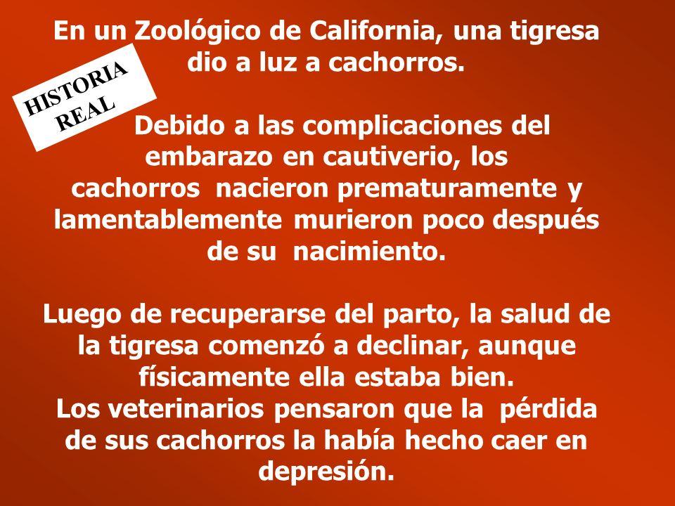 En un Zoológico de California, una tigresa dio a luz a cachorros.