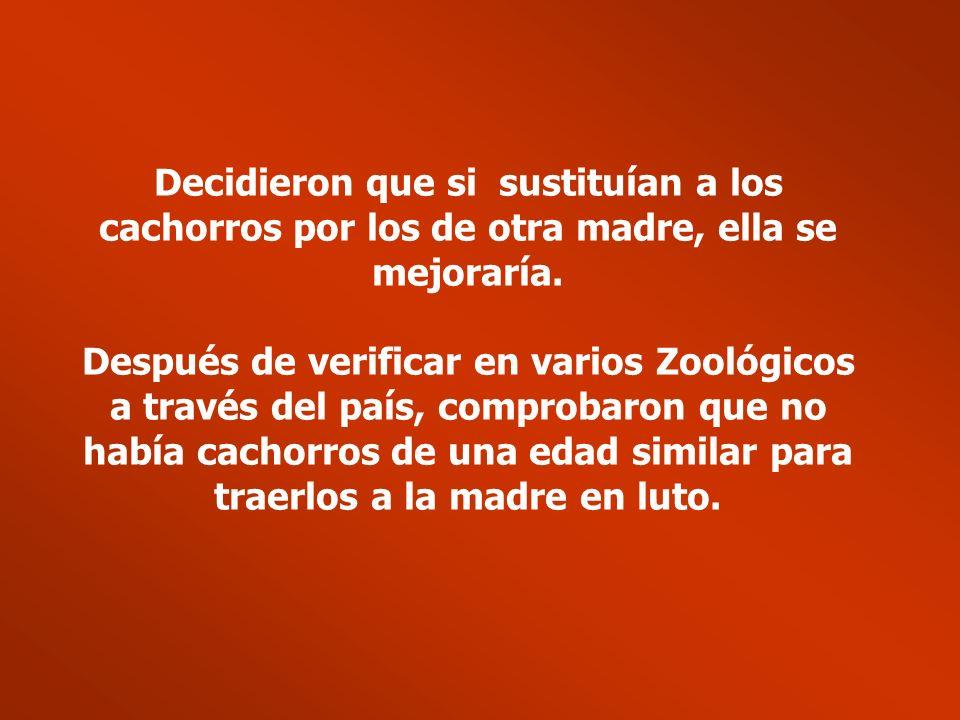 En un Zoológico de California, una tigresa dio a luz a cachorros. Debido a las complicaciones del embarazo en cautiverio, los cachorros nacieron prema