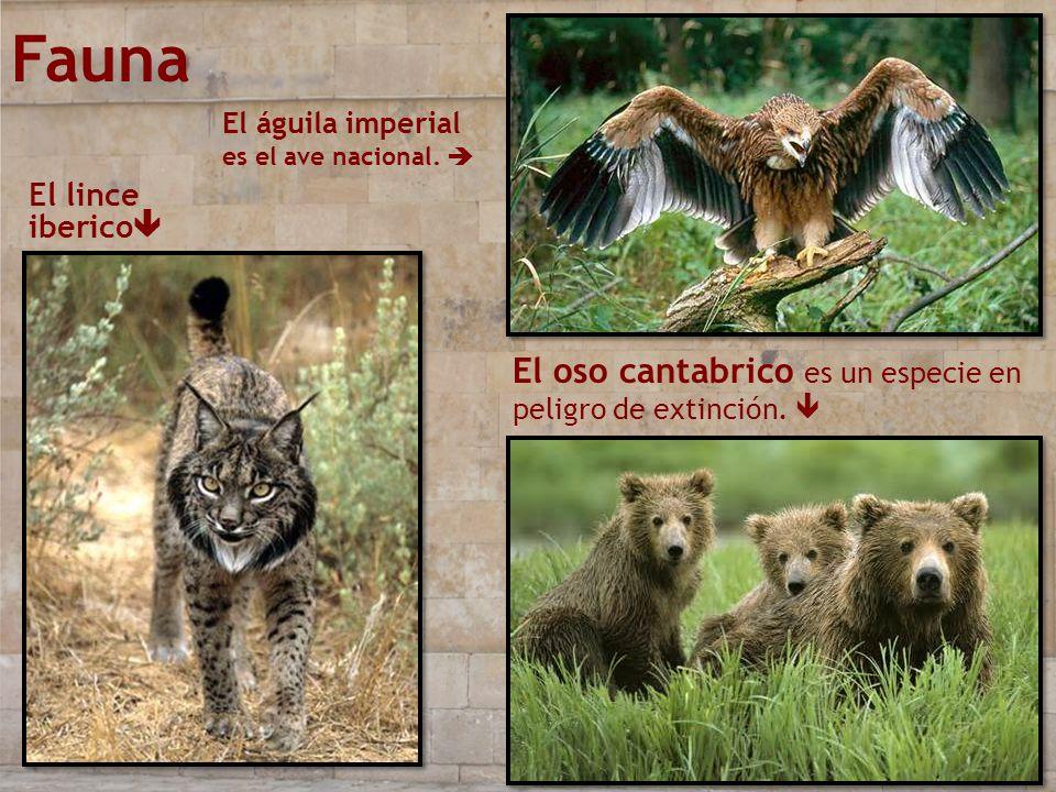 Fauna El águila imperial es el ave nacional. El lince iberico El oso cantabrico es un especie en peligro de extinción.