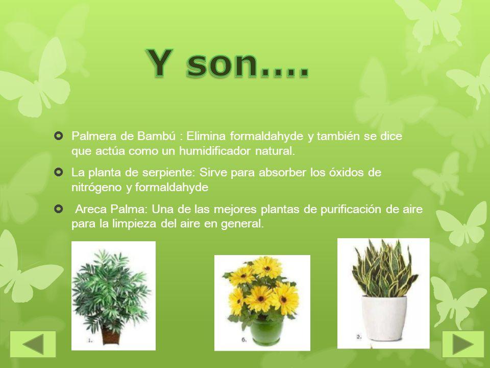 Palmera de Bambú : Elimina formaldahyde y también se dice que actúa como un humidificador natural. La planta de serpiente: Sirve para absorber los óxi
