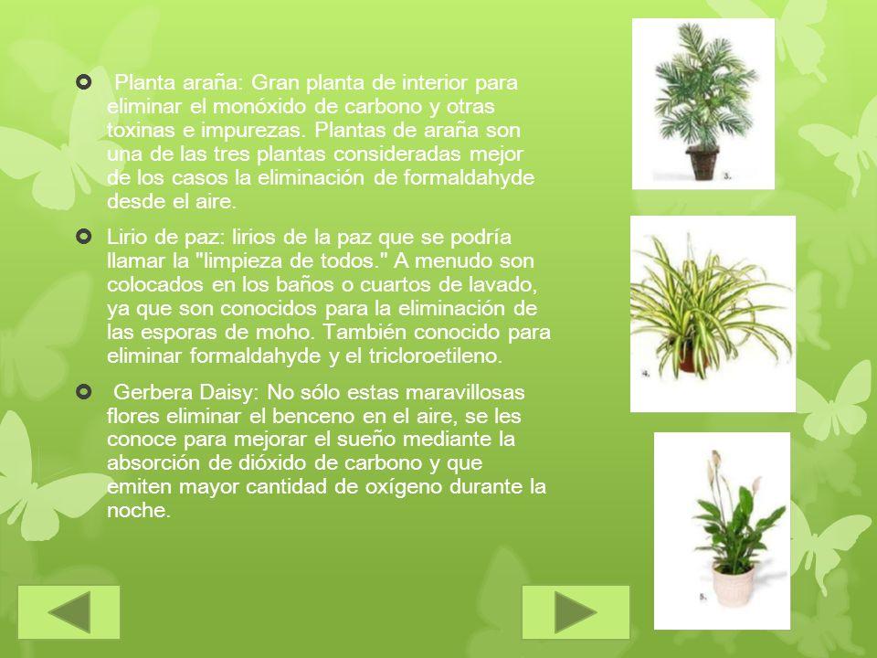 Planta araña: Gran planta de interior para eliminar el monóxido de carbono y otras toxinas e impurezas. Plantas de araña son una de las tres plantas c