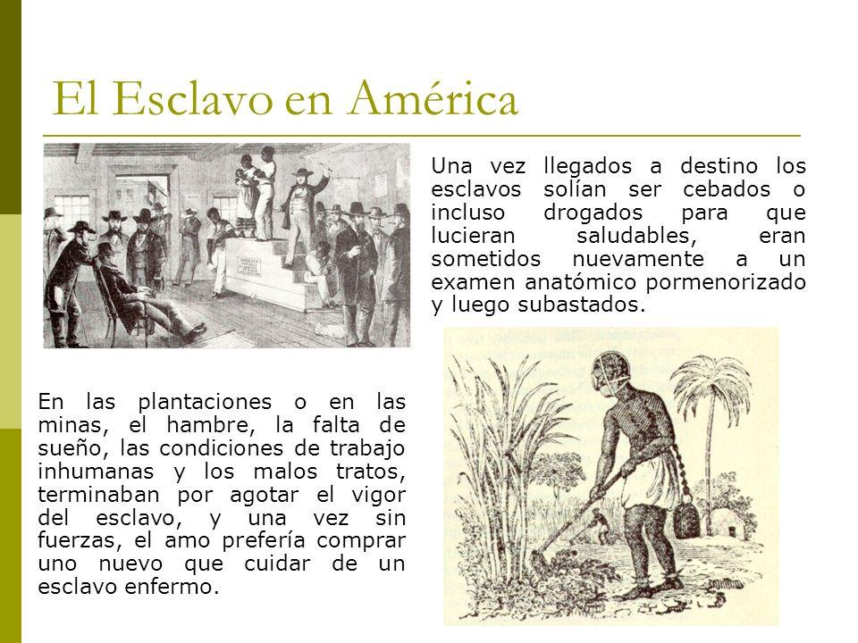 El Esclavo en América Una vez llegados a destino los esclavos solían ser cebados o incluso drogados para que lucieran saludables, eran sometidos nueva