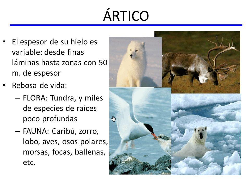 ÁRTICO El espesor de su hielo es variable: desde finas láminas hasta zonas con 50 m. de espesor Rebosa de vida: – FLORA: Tundra, y miles de especies d