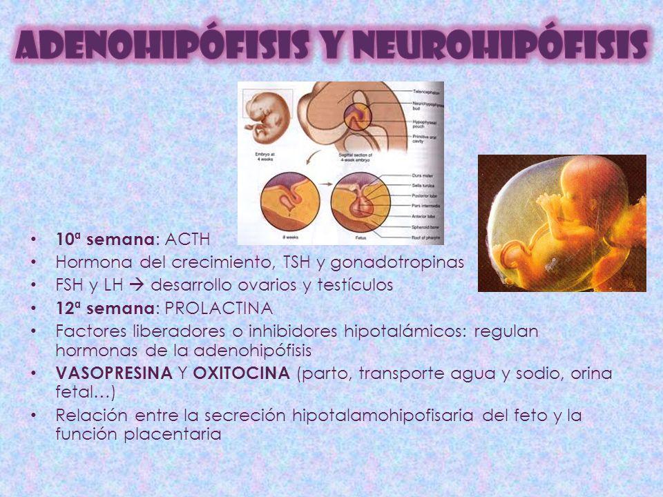10ª semana : ACTH Hormona del crecimiento, TSH y gonadotropinas FSH y LH desarrollo ovarios y testículos 12ª semana : PROLACTINA Factores liberadores o inhibidores hipotalámicos: regulan hormonas de la adenohipófisis VASOPRESINA Y OXITOCINA (parto, transporte agua y sodio, orina fetal…) Relación entre la secreción hipotalamohipofisaria del feto y la función placentaria
