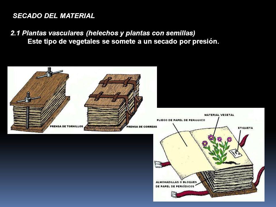 2.1 Plantas vasculares (helechos y plantas con semillas) Este tipo de vegetales se somete a un secado por presión. SECADO DEL MATERIAL