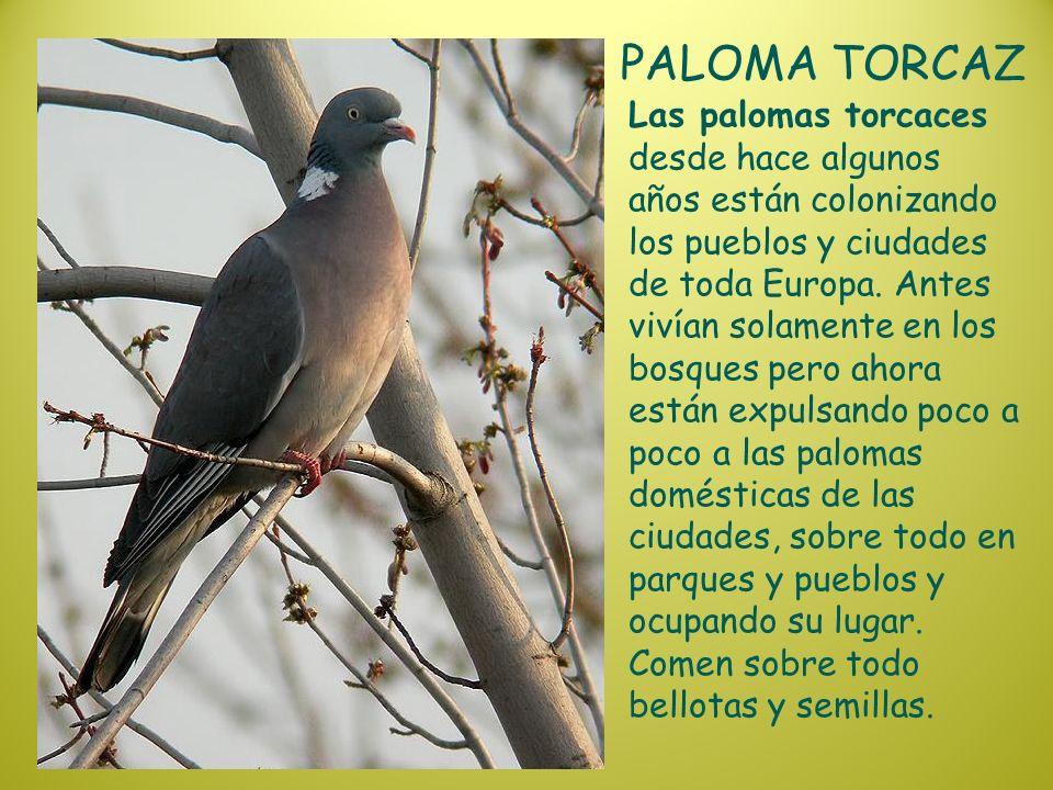 PALOMA TORCAZ Las palomas torcaces desde hace algunos años están colonizando los pueblos y ciudades de toda Europa. Antes vivían solamente en los bosq