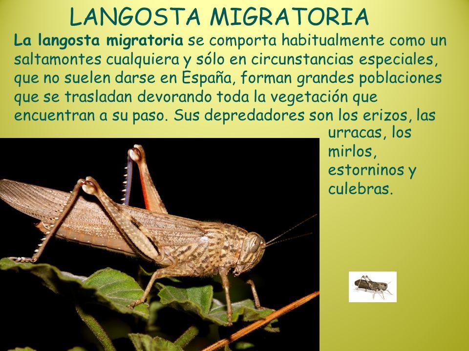 LANGOSTA MIGRATORIA La langosta migratoria se comporta habitualmente como un saltamontes cualquiera y sólo en circunstancias especiales, que no suelen