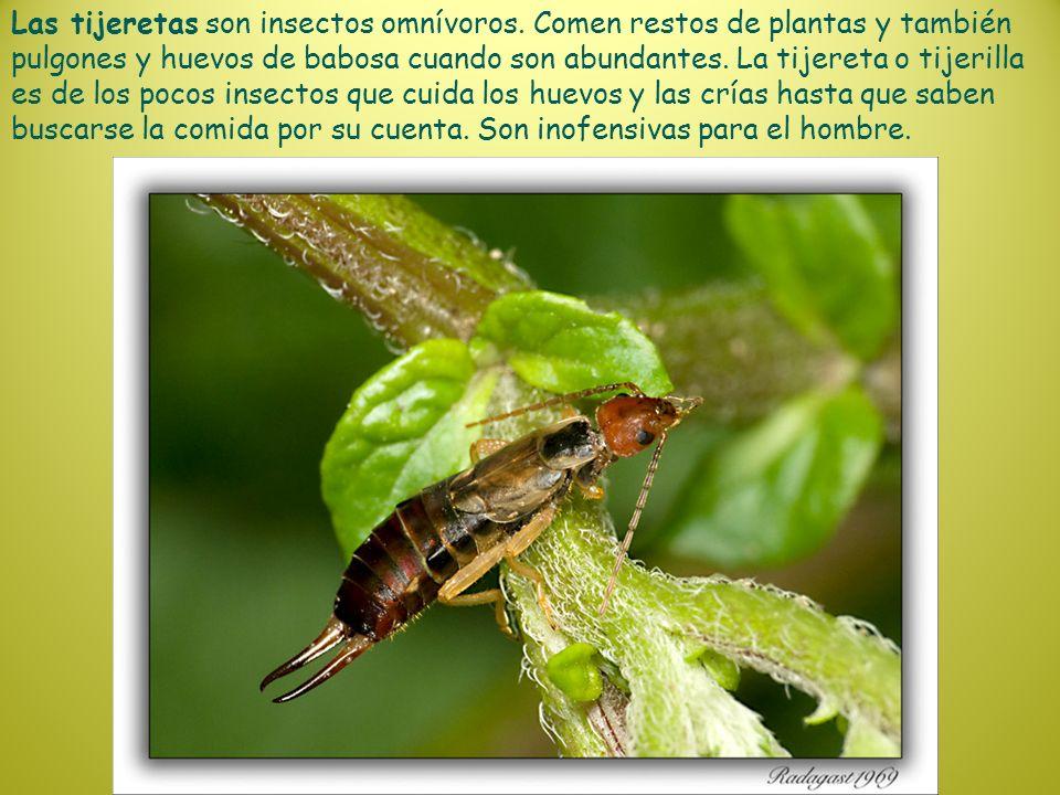 Las tijeretas son insectos omnívoros. Comen restos de plantas y también pulgones y huevos de babosa cuando son abundantes. La tijereta o tijerilla es