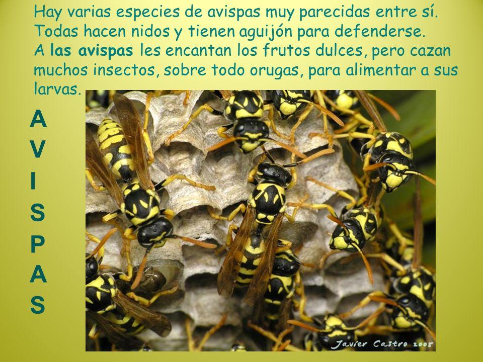 Hay varias especies de avispas muy parecidas entre sí. Todas hacen nidos y tienen aguijón para defenderse. A las avispas les encantan los frutos dulce