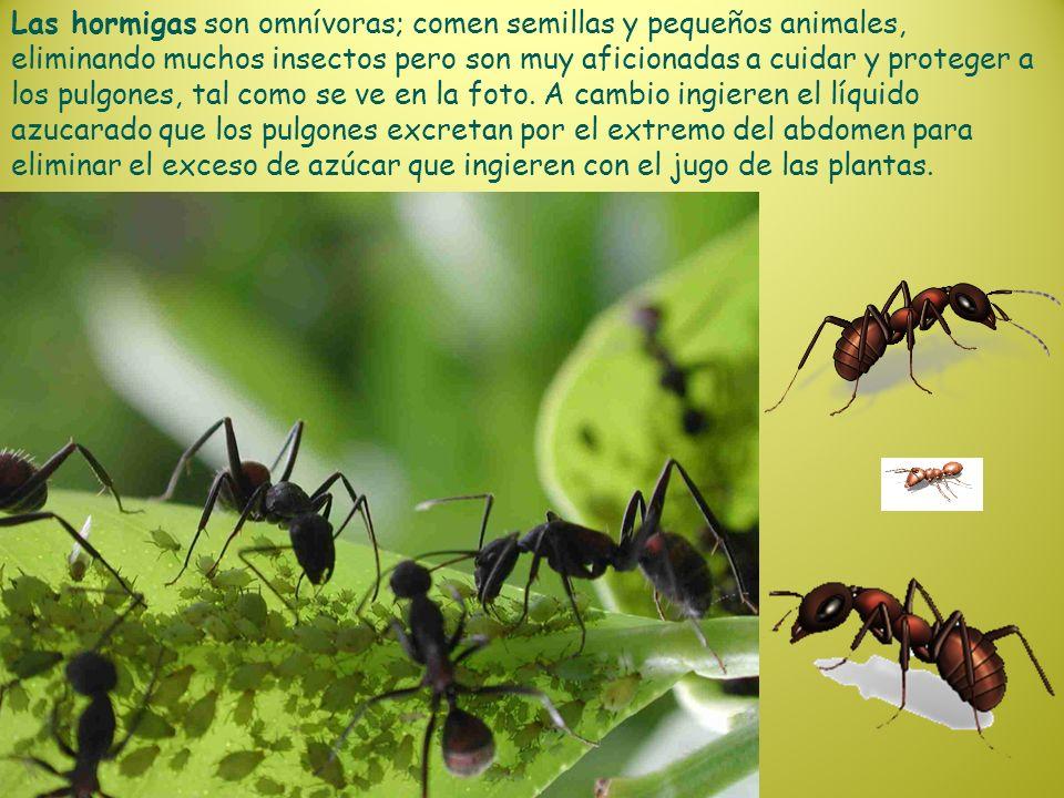 Las hormigas son omnívoras; comen semillas y pequeños animales, eliminando muchos insectos pero son muy aficionadas a cuidar y proteger a los pulgones