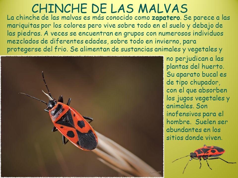 CHINCHE DE LAS MALVAS La chinche de las malvas es más conocido como zapatero. Se parece a las mariquitas por los colores pero vive sobre todo en el su