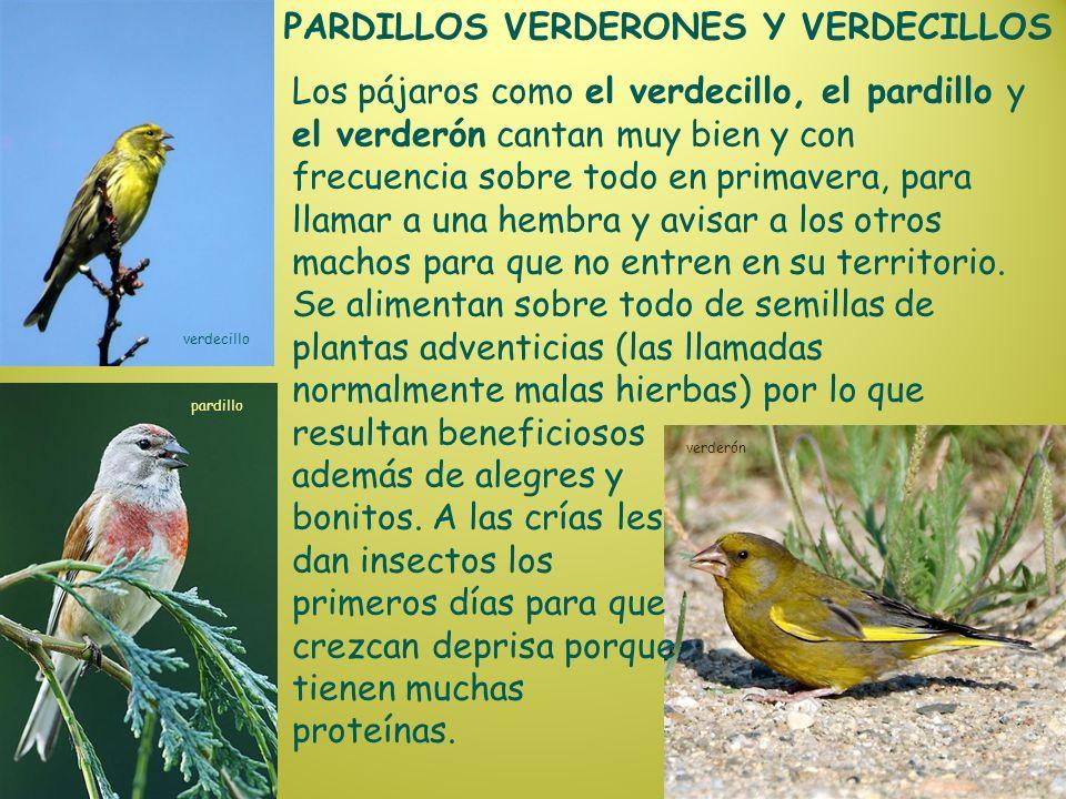 PARDILLOS VERDERONES Y VERDECILLOS verdecillo pardillo verderón Los pájaros como el verdecillo, el pardillo y el verderón cantan muy bien y con frecue