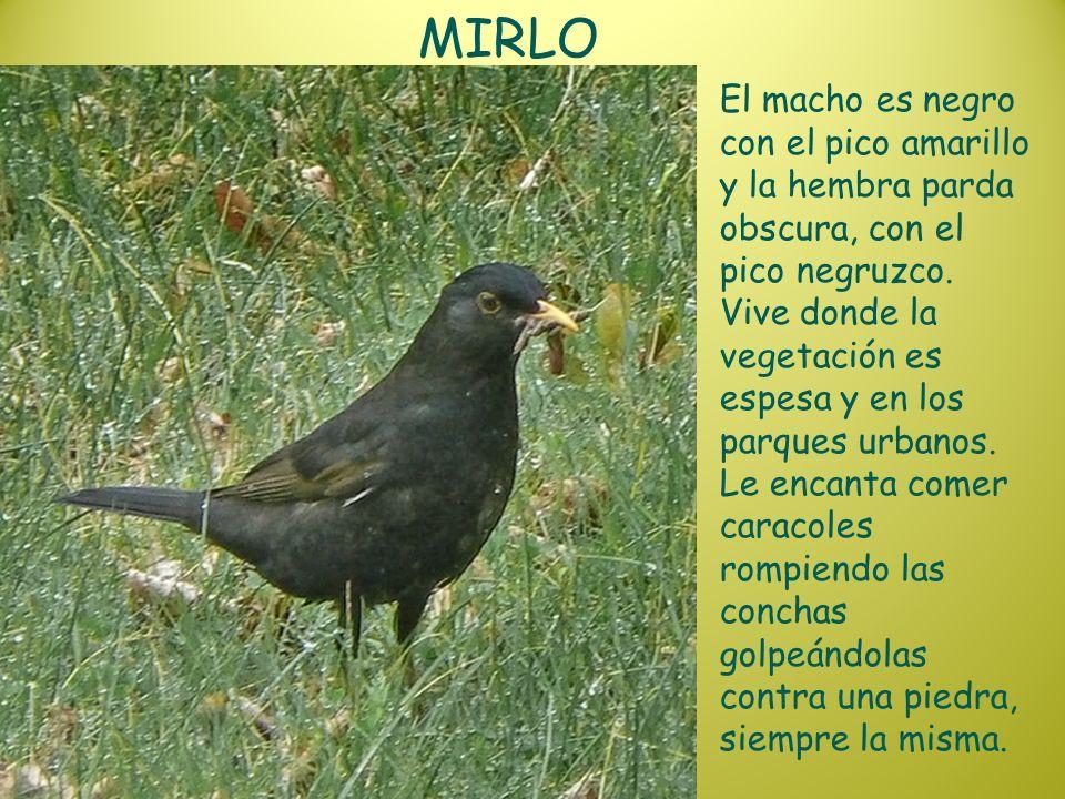 MIRLO El macho es negro con el pico amarillo y la hembra parda obscura, con el pico negruzco. Vive donde la vegetación es espesa y en los parques urba