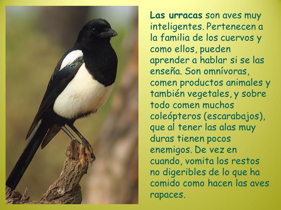 Las urracas son aves muy inteligentes. Pertenecen a la familia de los cuervos y como ellos, pueden aprender a hablar si se las enseña. Son omnívoras,