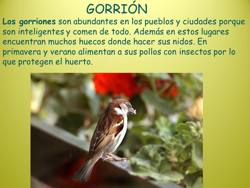 GORRIÓN Los gorriones son abundantes en los pueblos y ciudades porque son inteligentes y comen de todo. Además en estos lugares encuentran muchos huec