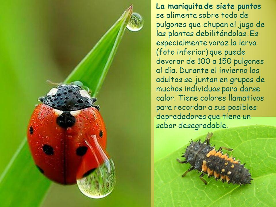 La mariquita de siete puntos se alimenta sobre todo de pulgones que chupan el jugo de las plantas debilitándolas. Es especialmente voraz la larva (fot