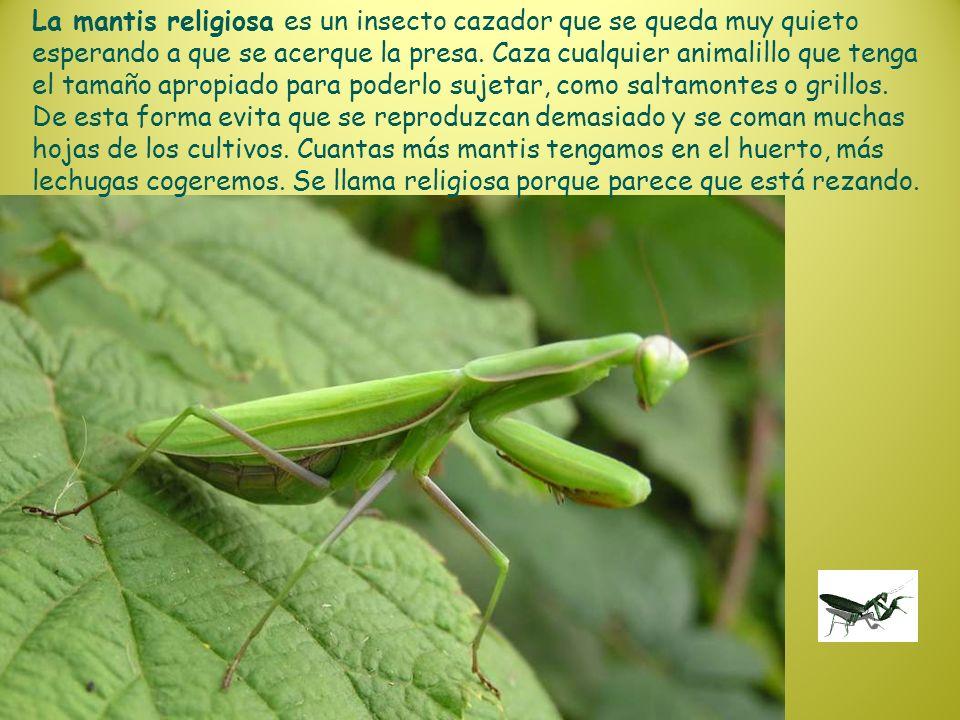 La mantis religiosa es un insecto cazador que se queda muy quieto esperando a que se acerque la presa. Caza cualquier animalillo que tenga el tamaño a