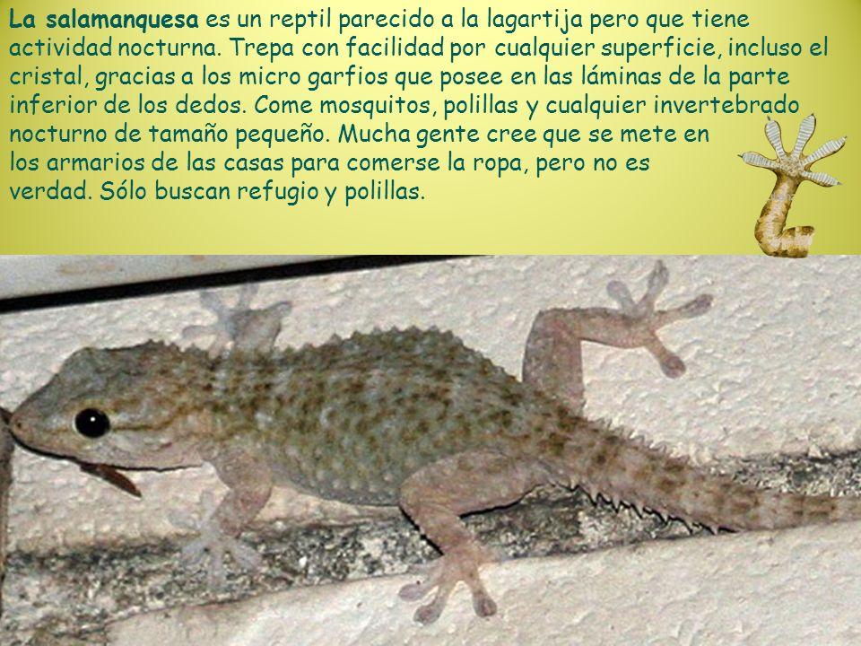 La salamanquesa es un reptil parecido a la lagartija pero que tiene actividad nocturna. Trepa con facilidad por cualquier superficie, incluso el crist