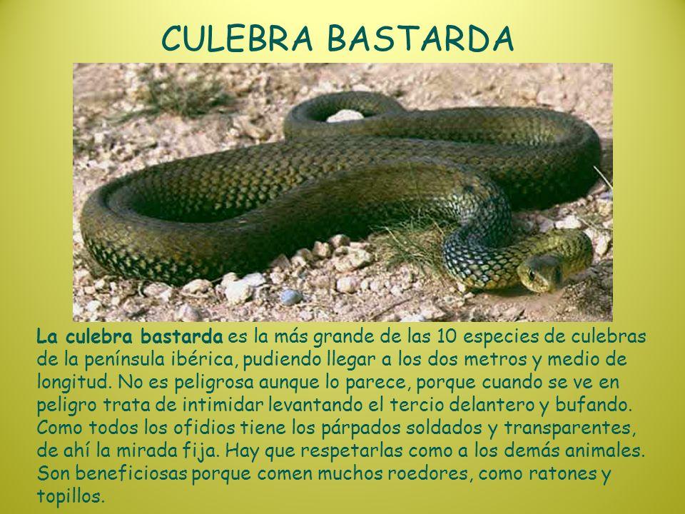 CULEBRA BASTARDA La culebra bastarda es la más grande de las 10 especies de culebras de la península ibérica, pudiendo llegar a los dos metros y medio