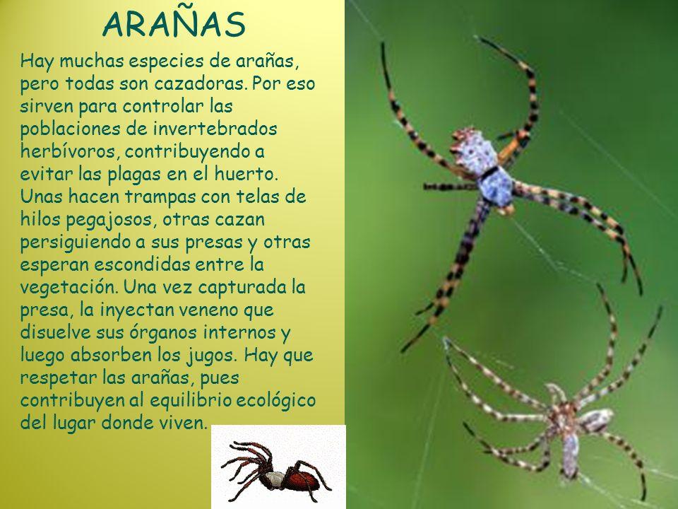 ARAÑAS Hay muchas especies de arañas, pero todas son cazadoras. Por eso sirven para controlar las poblaciones de invertebrados herbívoros, contribuyen