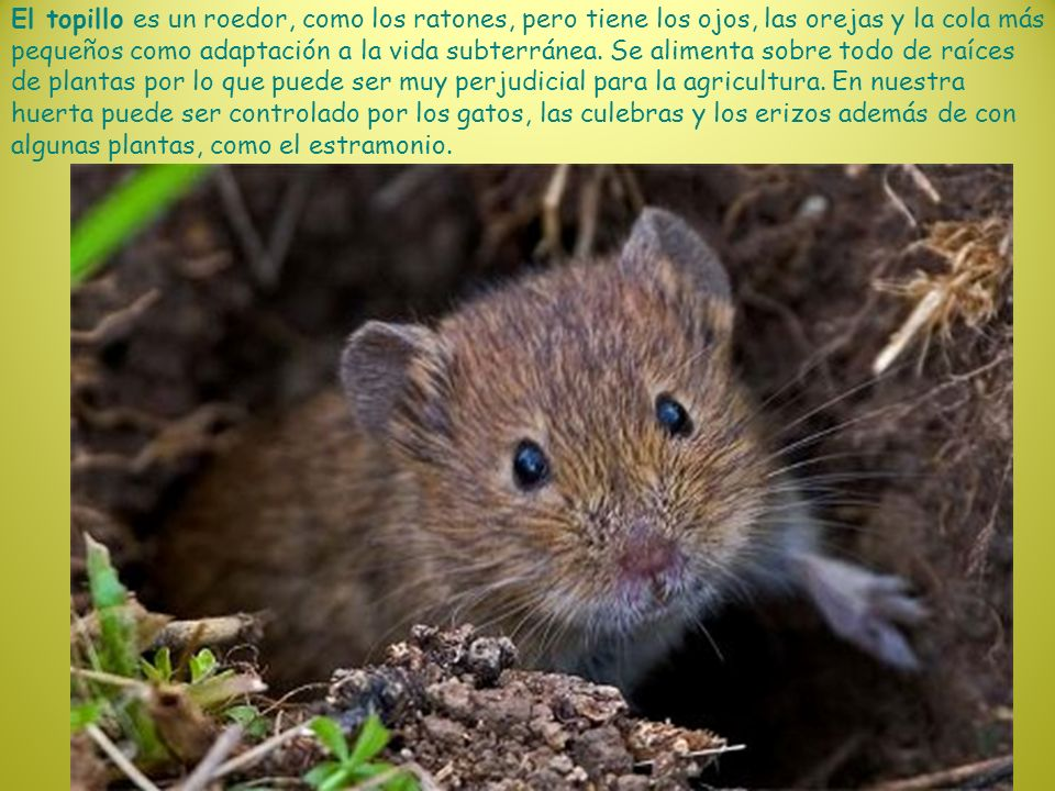 El topillo es un roedor, como los ratones, pero tiene los ojos, las orejas y la cola más pequeños como adaptación a la vida subterránea. Se alimenta s