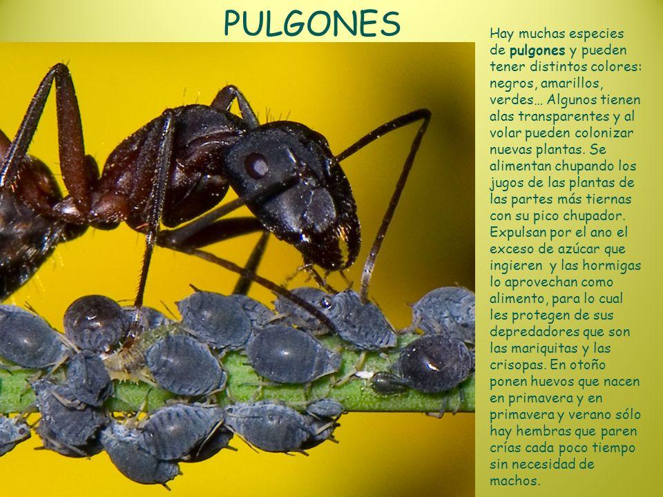 PULGONES Hay muchas especies de pulgones y pueden tener distintos colores: negros, amarillos, verdes… Algunos tienen alas transparentes y al volar pue