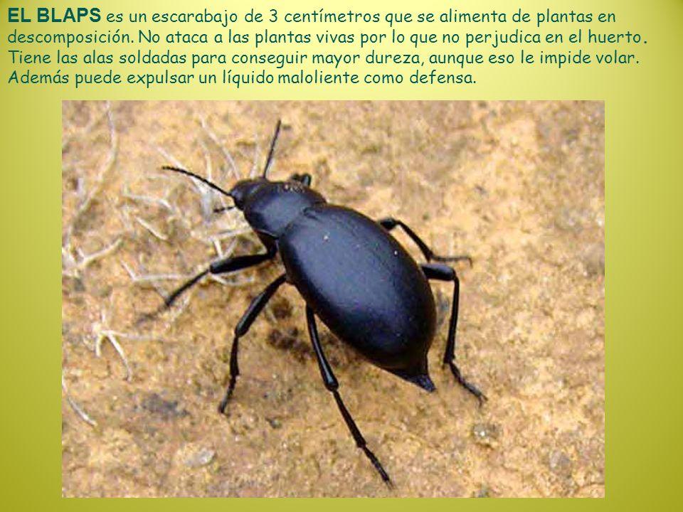 EL BLAPS es un escarabajo de 3 centímetros que se alimenta de plantas en descomposición. No ataca a las plantas vivas por lo que no perjudica en el hu