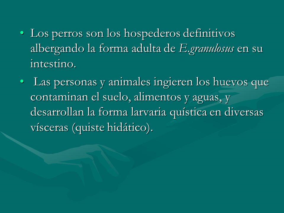 Los perros son los hospederos definitivos albergando la forma adulta de E.granulosus en su intestino.Los perros son los hospederos definitivos alberga