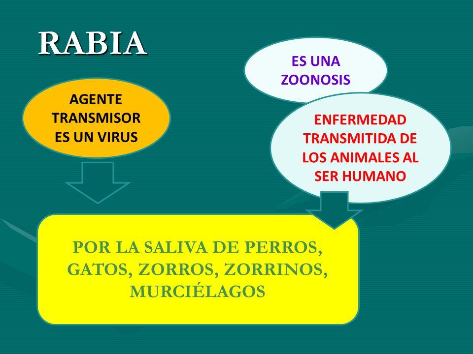 RABIA ES UNA ZOONOSIS ENFERMEDAD TRANSMITIDA DE LOS ANIMALES AL SER HUMANO AGENTE TRANSMISOR ES UN VIRUS POR LA SALIVA DE PERROS, GATOS, ZORROS, ZORRI
