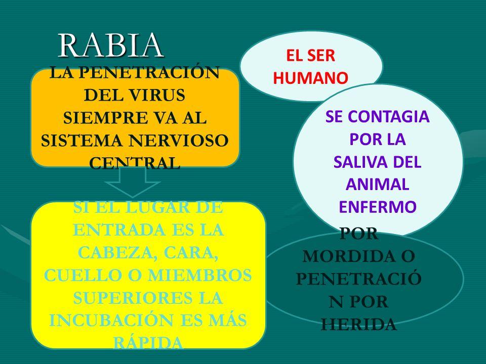 RABIA EL SER HUMANO SE CONTAGIA POR LA SALIVA DEL ANIMAL ENFERMO POR MORDIDA O PENETRACIÓ N POR HERIDA LA PENETRACIÓN DEL VIRUS SIEMPRE VA AL SISTEMA