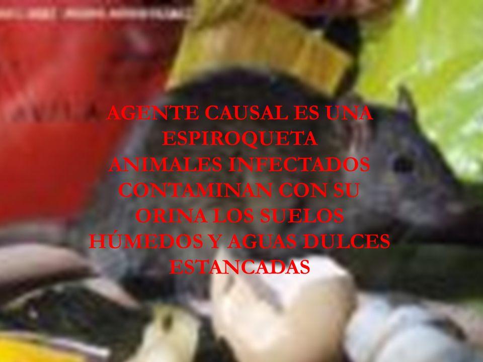 LEPTOSPIROSIS AGENTE CAUSAL ES UNA ESPIROQUETA ANIMALES INFECTADOS CONTAMINAN CON SU ORINA LOS SUELOS HÚMEDOS Y AGUAS DULCES ESTANCADAS