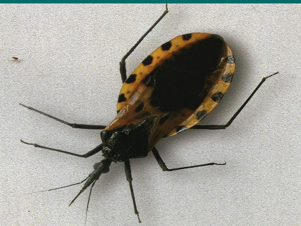 Enfermedad de Chagas o Tripanosomiasis Americana. Es una zoonosis parasitaria producida por Trypanosoma cruzi, protozoario flagelado de parasitismo he