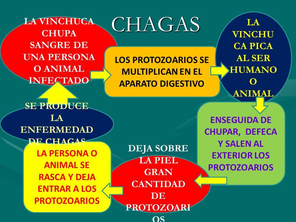 CHAGAS LA VINCHUCA CHUPA SANGRE DE UNA PERSONA O ANIMAL INFECTADO LOS PROTOZOARIOS SE MULTIPLICAN EN EL APARATO DIGESTIVO LA VINCHU CA PICA AL SER HUM