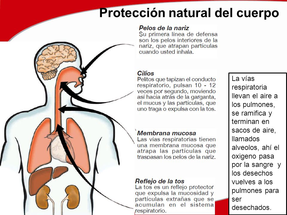 Protección natural del cuerpo La vías respiratoria llevan el aire a los pulmones, se ramifica y terminan en sacos de aire, llamados alveolos, ahí el oxigeno pasa por la sangre y los desechos vuelves a los pulmones para ser desechados.