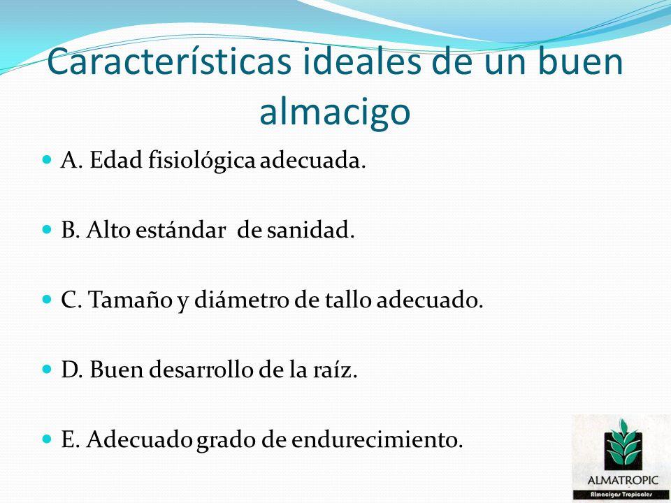 Características ideales de un buen almacigo A. Edad fisiológica adecuada. B. Alto estándar de sanidad. C. Tamaño y diámetro de tallo adecuado. D. Buen