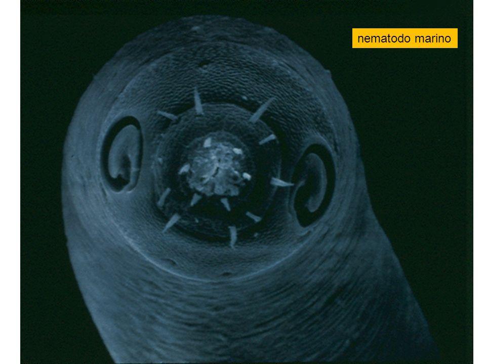 nematodo marino
