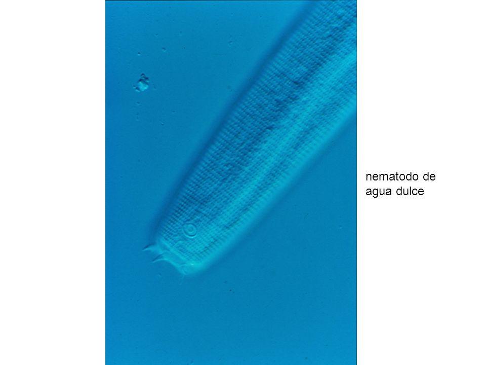 nematodo de agua dulce