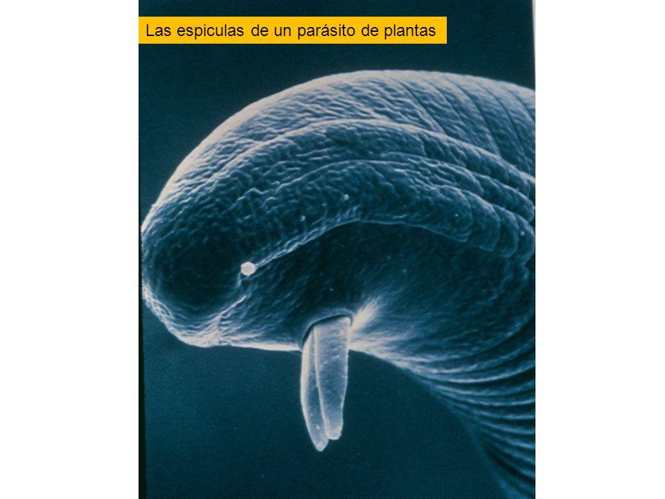 Las espiculas de un parásito de plantas
