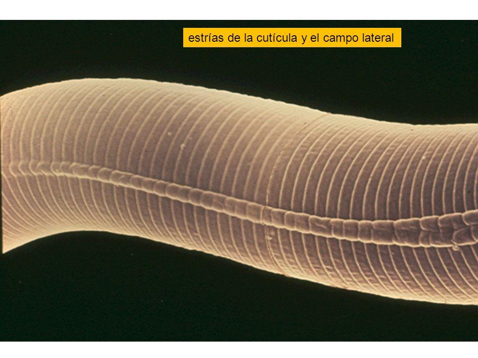 estrías de la cutícula y el campo lateral