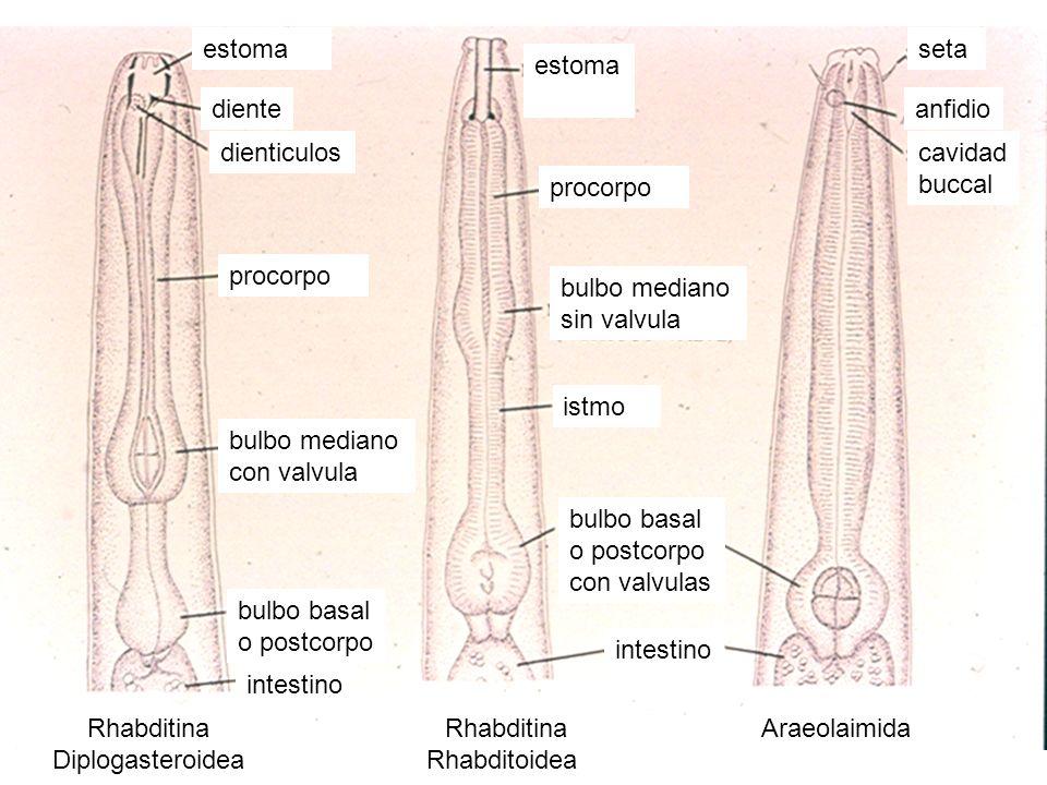 Rhabditina Diplogasteroidea Rhabditina Rhabditoidea Araeolaimida bulbo basal o postcorpo diente dienticuloscavidad buccal seta anfidio intestino bulbo