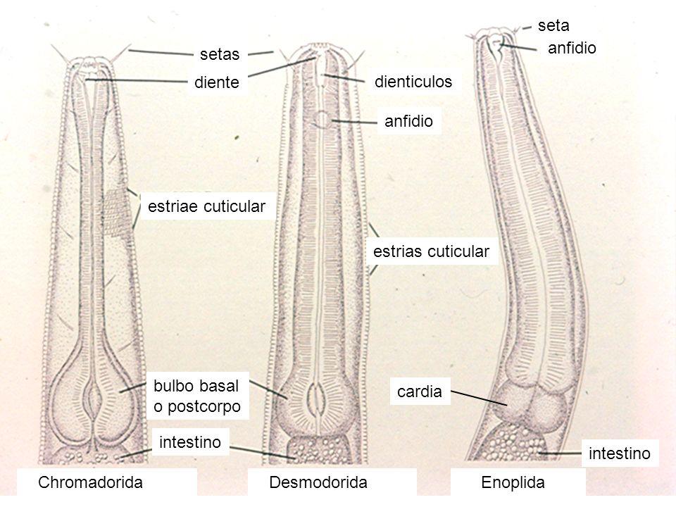 Chromadorida Desmodorida Enoplida bulbo basal o postcorpo diente dienticulos setas anfidio intestino anfidio intestino cardia estriae cuticular estria