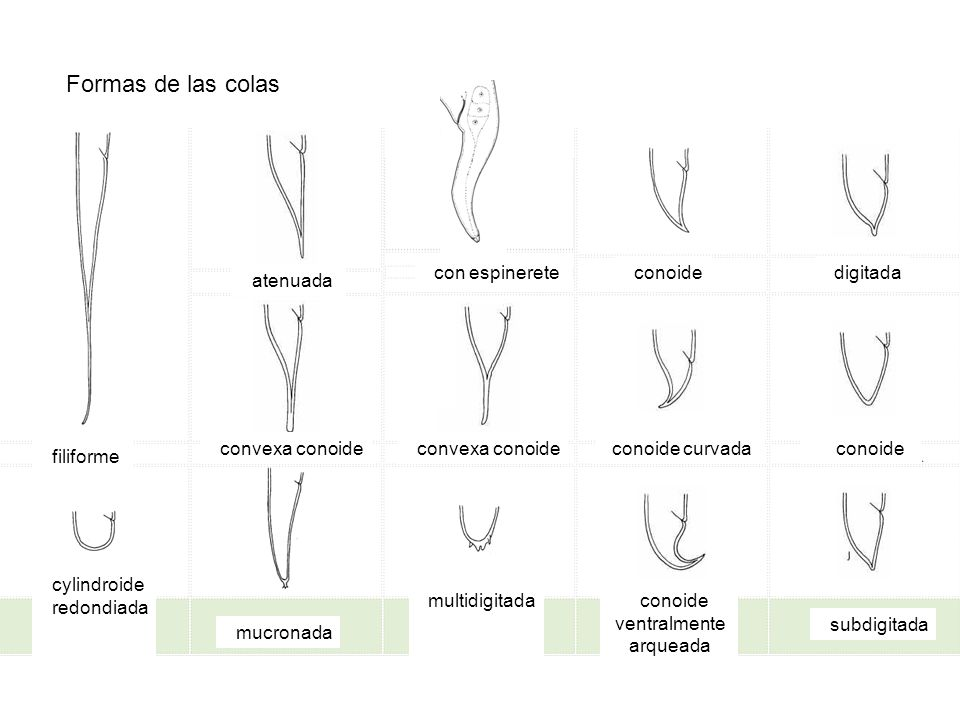 Formas de las colas Con spinneret atenuada con espinerete conoide digitada filiforme convexa conoide conoide curvada conoide cylindroide redondiada mu