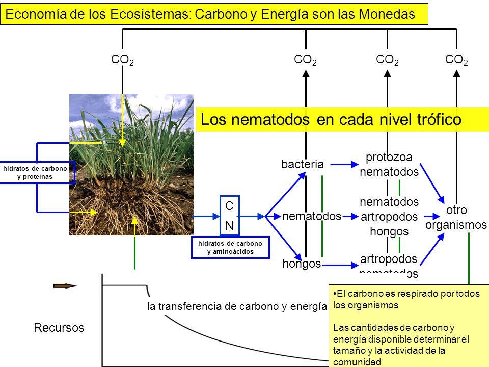 CO 2 hidratos de carbono y proteínas bacteria nematodos hongos CO 2 NH 3 NO 3 protozoa nematodos artropodos hongos artropodos nematodos NH 3 otro orga