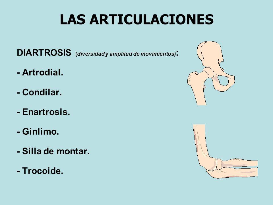 LAS ARTICULACIONES DIARTROSIS (diversidad y amplitud de movimientos) : - Artrodial.