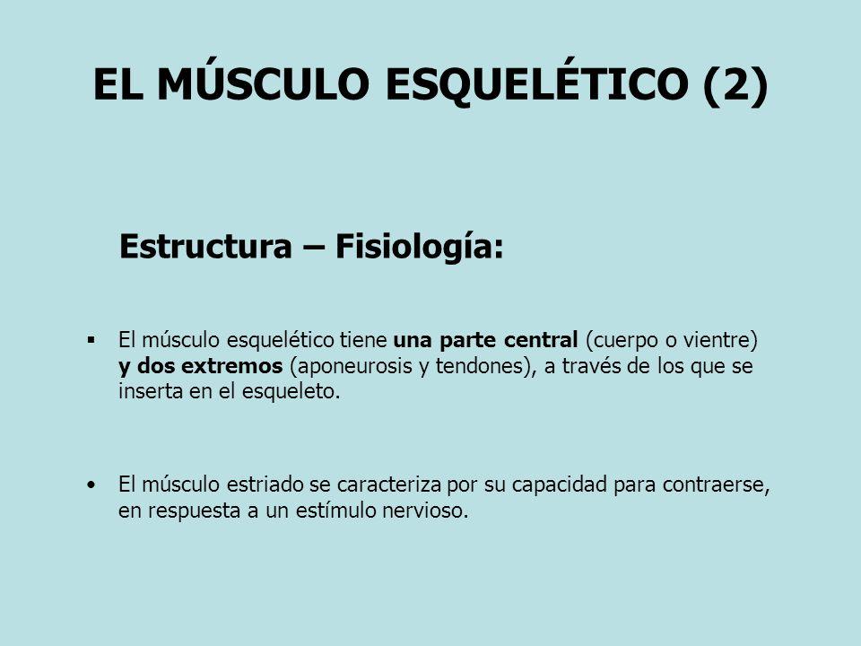 EL MÚSCULO ESQUELÉTICO (2) Estructura – Fisiología: El músculo esquelético tiene una parte central (cuerpo o vientre) y dos extremos (aponeurosis y tendones), a través de los que se inserta en el esqueleto.